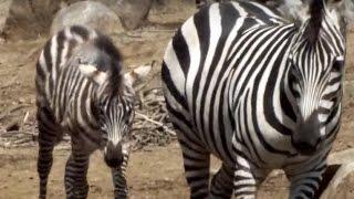 Cute zebra mom and foal(4 months old)..可愛いシマウマ親子(生後四ヶ...
