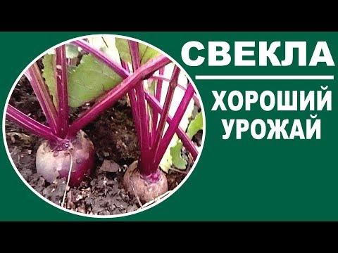 Чем подкормить свеклу для хорошего урожая