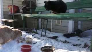 Дачные коты: Марсик и Черныш