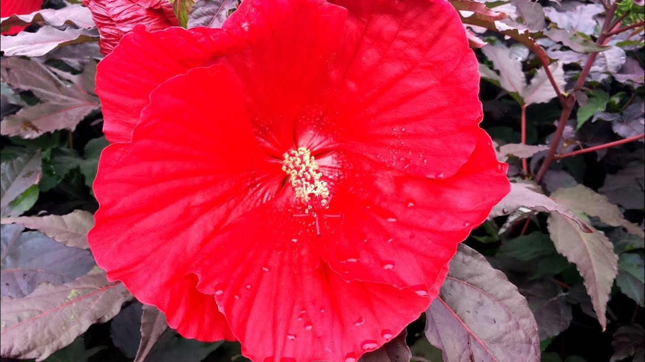 Best perennials hibiscus midnight marvel rose mallow youtube izmirmasajfo