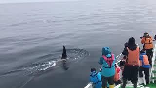 2016年のシャチ動画! べた凪の中大きなオスシャチが船と並走! ゆっくりとすぐそばを泳いでいるといきなり背面泳ぎを披露してくれました♪...