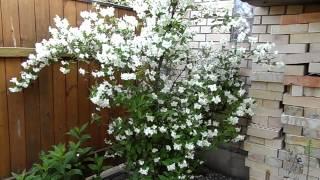 Прекрасное цветение жасмина