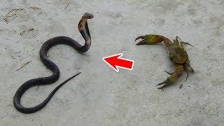Cua Bể Đấu Rắn Hổ Mang Chó Săn Tấn Công Yểm Trợ Crab Attack King Cobra