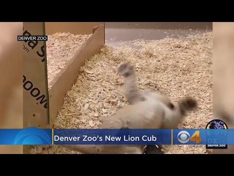 VIDEO: Denver Zoo's New Lion Cub Rolls Around In Den