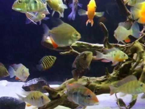 aquarium 800 liter jungen geophagus heros and discu youtube. Black Bedroom Furniture Sets. Home Design Ideas