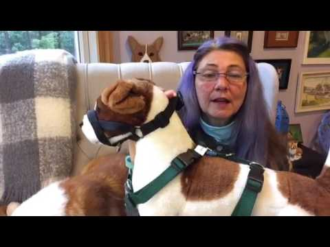 #42 Head collars for dogs - Conversations with a Corgi ep. 42
