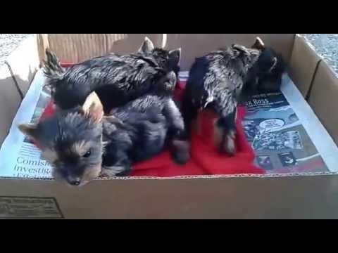 Cachorros Yorkshire Terrier en Santiago de Chile