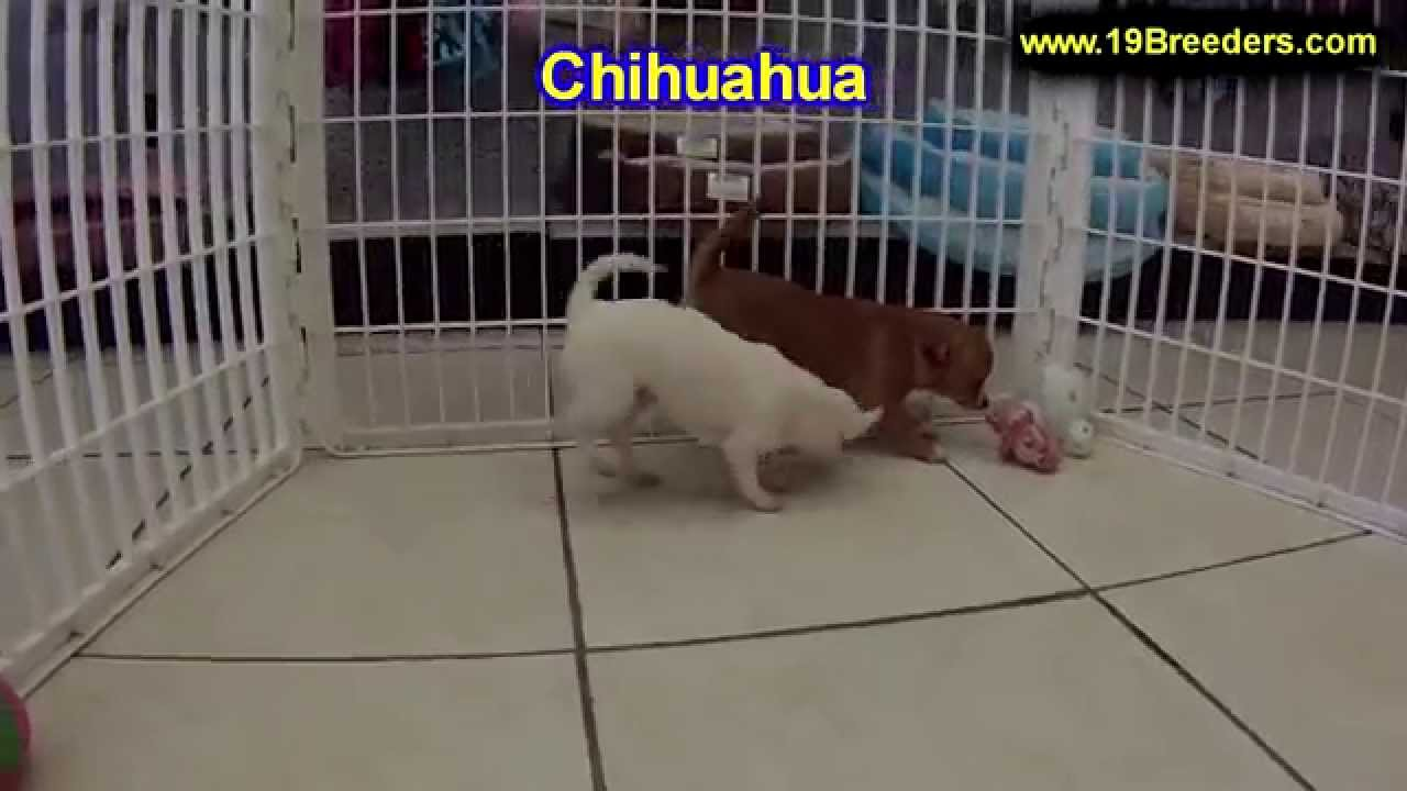 Chihuahua, Puppies, Dogs, For Sale, In Tampa, Florida, FL, 19Breeders, Fort  Lauderdale, Hollywood