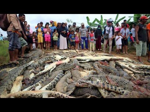 أكبر مذبحة تماسيح في اندونيسيا.. انتقاما لشخص  - نشر قبل 13 دقيقة