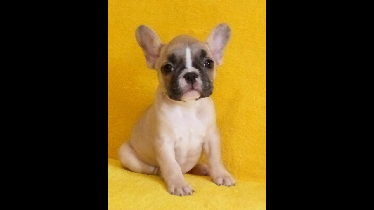 cover letter french%0A French Bulldog Puppies For Sale In St Augustine FL French Bulldog