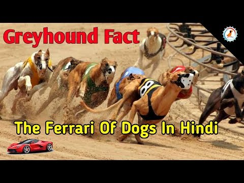 Greyhound dog Facts in hindi / Greyhound The Ferrari Of Dogs In Hindi / Dog Facts / Popular Dogs