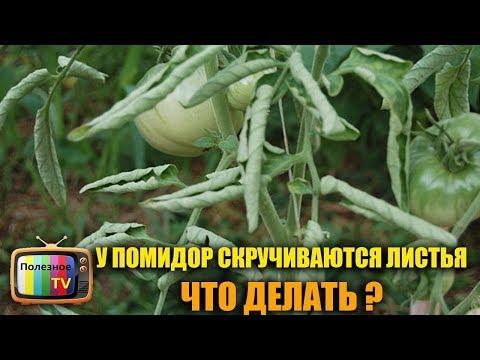 СКРУЧИВАЮТСЯ ЛИСТЬЯ У ТОМАТОВ? ВСЁ ИСПРАВЛЯЕТСЯ В МОМЕНТ   выращивание   увеличить   подкормка   средство   помидоры   полезное   томатов   урожай   томаты   супер