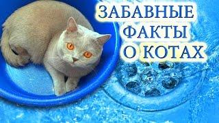 Факты о кошках и котах(Забавные факты о нашем коте британце по имени Грей., 2016-10-07T18:22:18.000Z)
