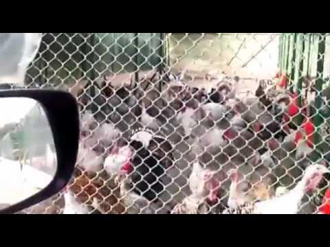 Man Gobbles at Turkeys   Turkeys Gobble Back