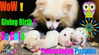Pomeranian Dog Giving Birth To 4 Puppies ! Wow ,  Old Grandma Help Pomeranian Dog To Give A Birth !!