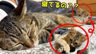 寝ながら子猫と遊んであげるハイスペックなお姉ちゃん猫 She plays with the kitten while sleeping