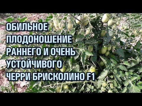Обильное плодоношение раннего и очень устойчивого черри Брисколино F1 | выращивание | брисколино | помидоров | помидоры | томатов | томаты | семена | черри | томат | briscolino