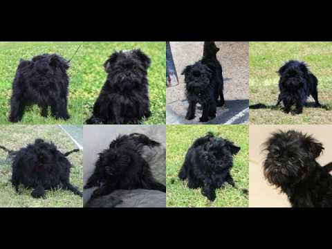 Generating Affenpinscher, Monkey Pinscher, Monkey Dog with Deep Learning