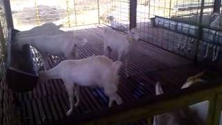 Closure of Tellicherry, Boer Cross Breed Goat farm ( 200+ ) in tamilnadu Part 1.