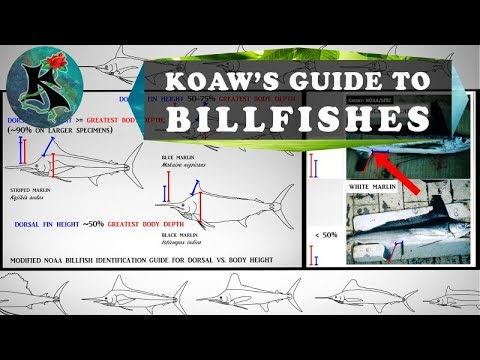 Identifying Billfishes (Marlins, Spearfishes, Etc.) W/o Using Coloration | Koaw Nature