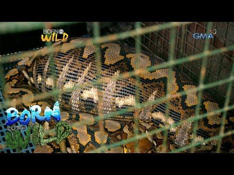 Born To Be Wild: Wild Python Eats A Pet Goat