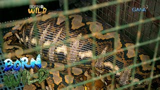 Born To Be Wild Wild Python Eats A Pet Goat