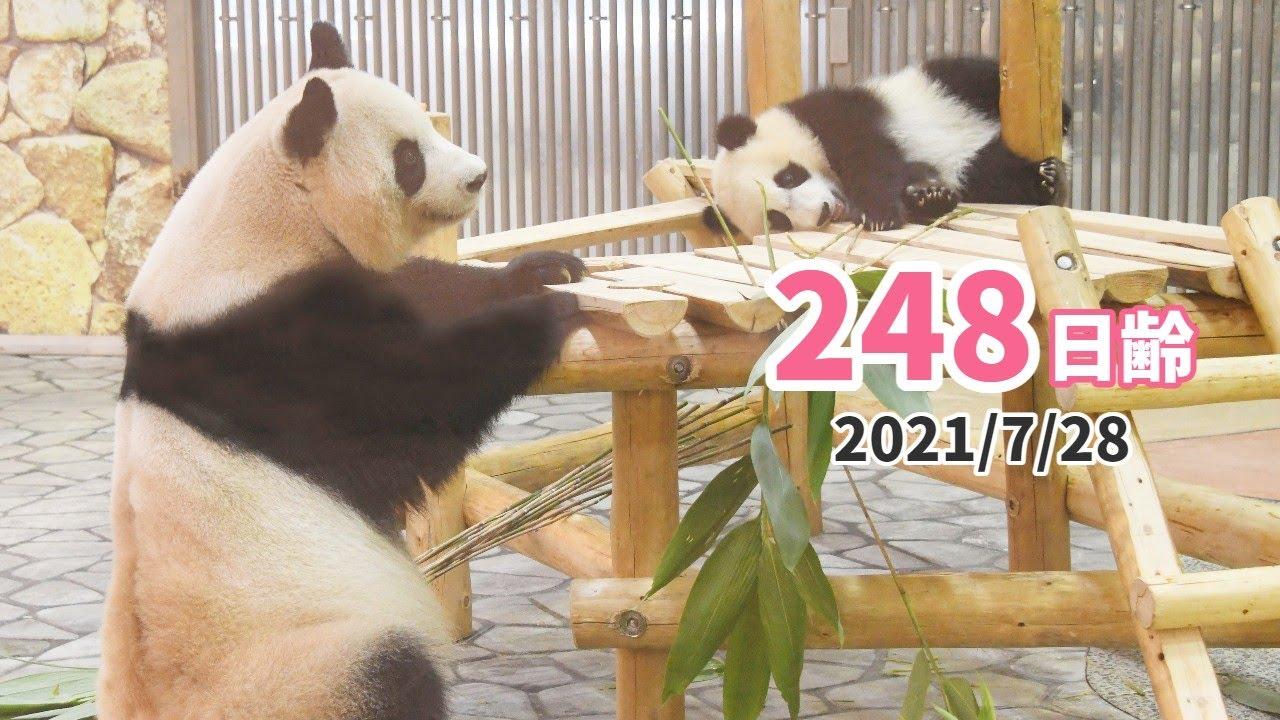 【パンダの赤ちゃん(楓浜)】見守る子育て(248日齢)