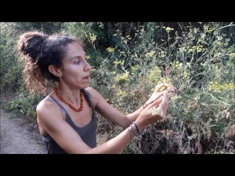 Fonoll Hinojo Foeniculim vulgare