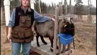 Combing Cashmere Goats - Part 1