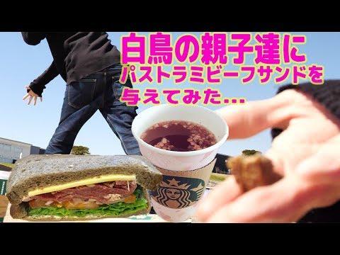 [スターバックスコーヒー] パストラミビーフサンドイッチが美味しいので白鳥の親子に与えてみたら