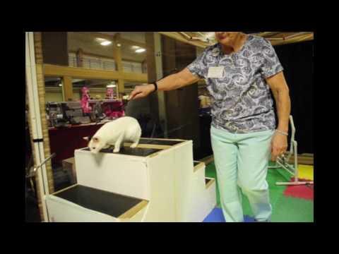 VIDEO: Cat agility course at Cat Fanciers cat show