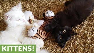 Kittens battle for their favorite stuffed animal