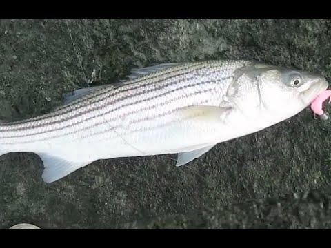 Striper Fishing Indian River Inlet, Delaware in January