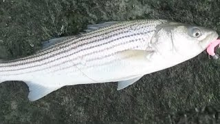Striper Fishing Indian River Inlet, Delaware in January