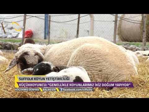 Küçükbaş Dünyası - Suffolk Koyun Yetiştiriciliğinin Özellikleri.