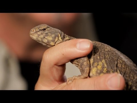 6 Facts about Spiny-Tailed Lizards | Pet Reptiles