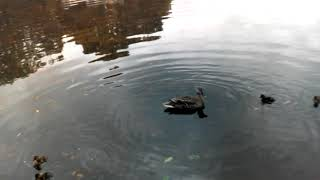 カルガモの子殺し/A duck killed its chick/Un canard a tué son poussin/Un pato mató a su polluelo/花嘴鴨殺了它小雞