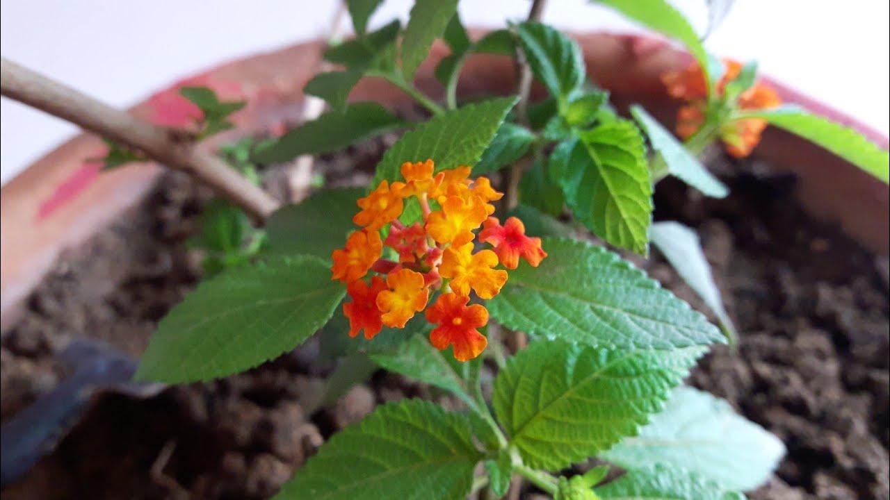 Care Of Lantana Plant लटन क पध क