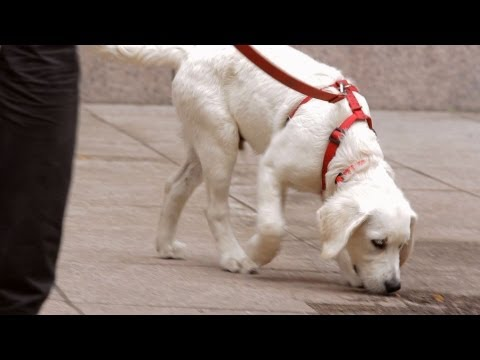 how-to-leash-train-your-puppy-|-puppy-care