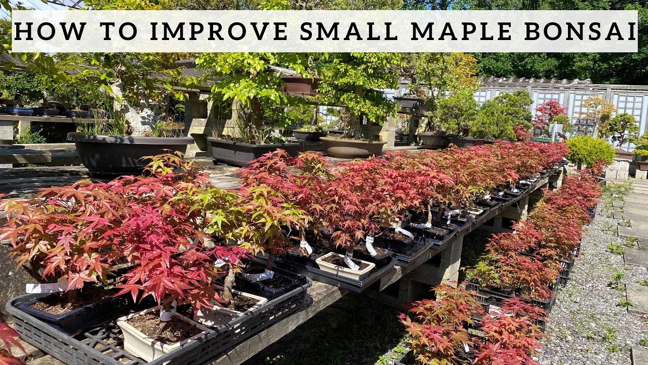 How to improve your small Maple Bonsai