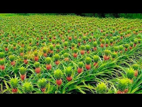 How to Harvest Pineapple ? - Pineapple Farming & Pineapple Harvesting - Pineapple Picking