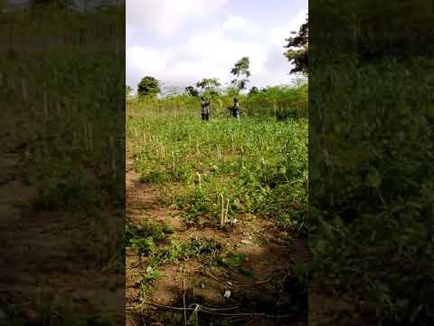 Moringa farm in Ghana Moringa harvest