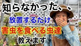 【目には目を】害虫を農薬を使わず退治する方法 教えます 【カーメン君】【園芸】【ガーデニング】【初心者】【益虫】【ハンター】【無農薬】