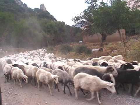 Greek islands Crete sheeps