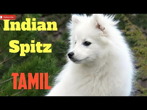 Indian spitz dog information in tamil