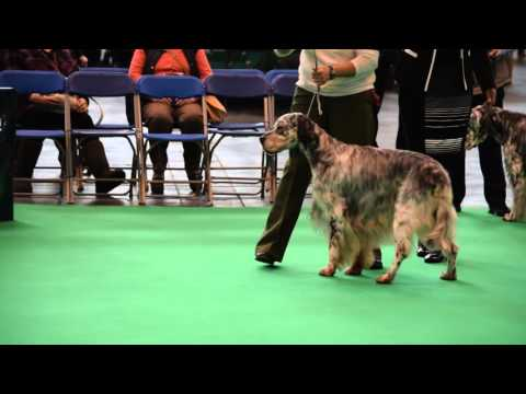 Sh Ch Mariglen Snowdrift at Hayworth, English Setter, Crufts 2016