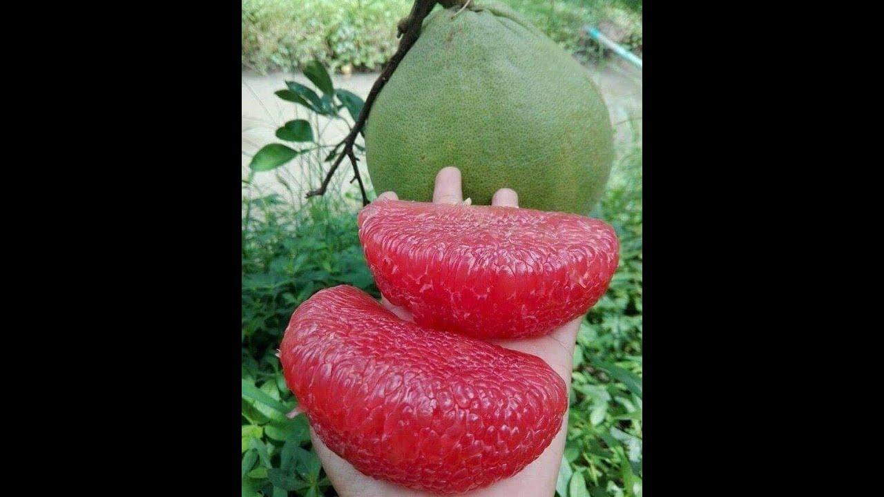Ăn thử bưởi Ruby Thái Lan- Giống bưởi vỏ xanh- Ruột đỏ- Không hạt- happytrees.