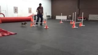 Yorkie In Agility Class. Dog Training Academy Of South Flor