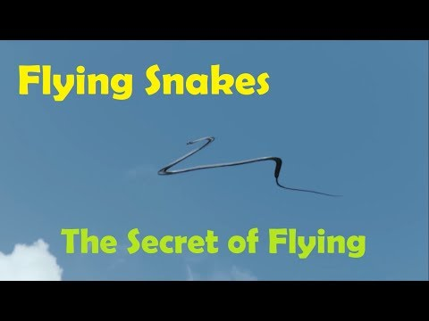 Flying Snakes | The Secret of Gliding Through Air