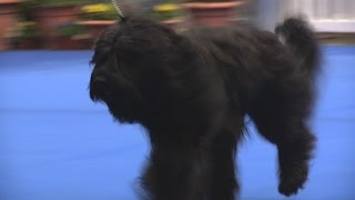 Manchester Championship Dog Show 2016 - Pastoral group